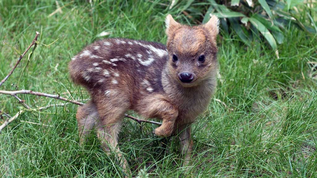 World's smallest deer steals hearts at Queens Zoo