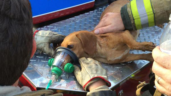 Pregnant dachshund rescued by firefighters