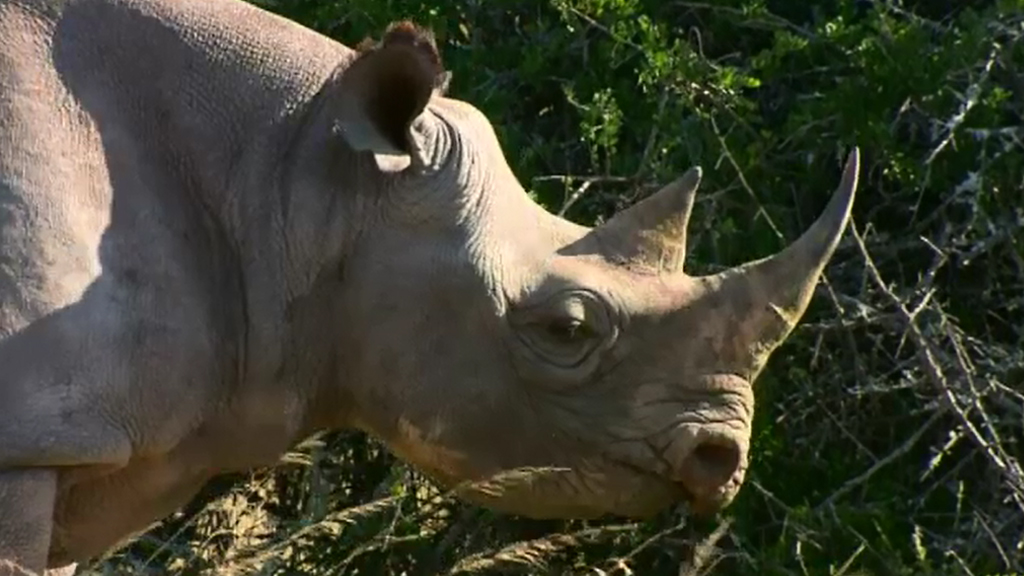 Under the plan, 80 rhinos would be flown to Australia. (AFP)