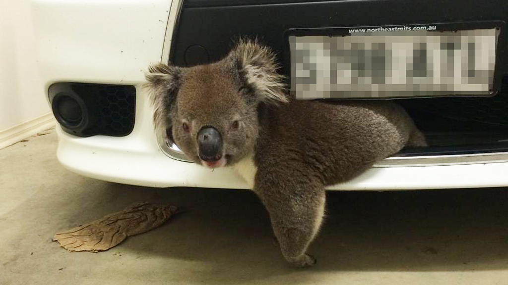 World's luckiest koala survives by clinging to car after being hit at 100km/h