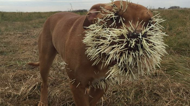 Animal lovers from around the world join to save dogs after porcupine fight