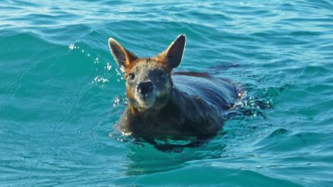 Exhausted wallaby found more than 1km out to sea off NSW