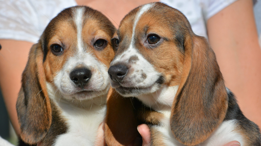 IVF puppies born to beagle surrogate in world first breakthrough