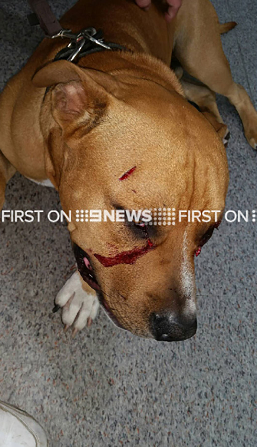 Juice suffered extensive injuries during the attack. (9NEWS)