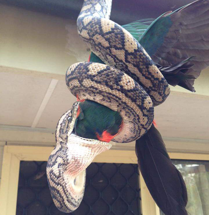 Snake makes meal of king parrot