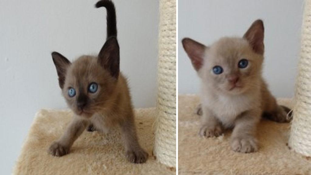 Cat burglar petnaps six pedigree kittens from Brisbane garage