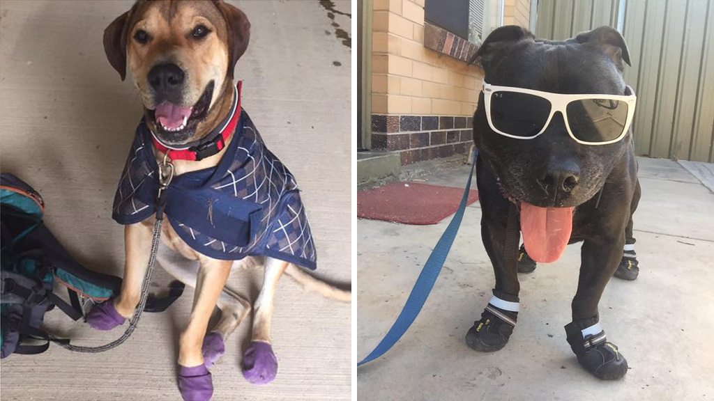 Some Facebook users have bought boots for their dogs to protect their feet. (Facebook)
