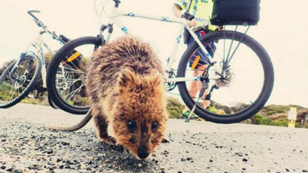 Teen fined $2500 for kicking quokka two metres on Rottnest Island