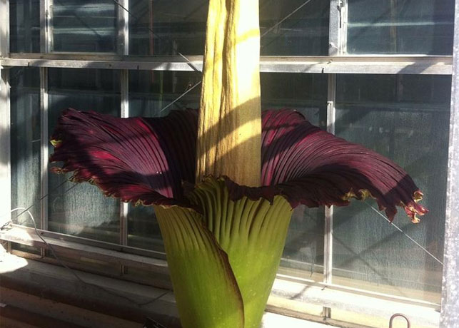 The corpse flower as it begins to bloom. (Photo: Adelaide Botanic Garden)