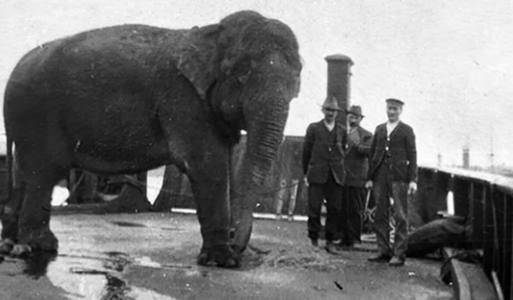 An elephant is taken by barge to the new Taronga Zoo site in 1916. (Supplied)