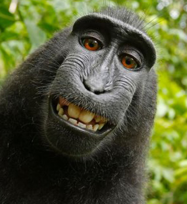 Monkey does not own copyright to selfie, US court rules