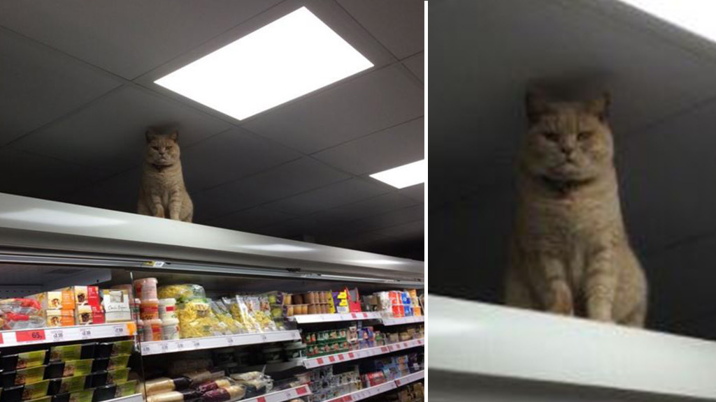 No-nonsense cat returns to supermarket shelf to overlook shoppers