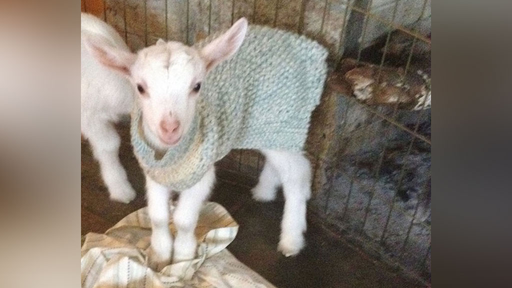 Do you want to snuggle a baby goat? US farm offer animal lovers the chance to help in need animals