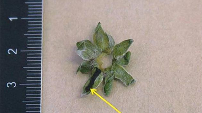 One of the strawberry leaves the doctor allegedly marked to indicate it was drugged.