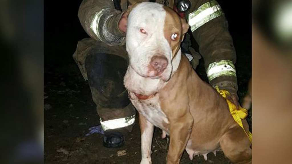 Meet Khaleesi, the pit bull who survived both a fire and a brutal knife attack