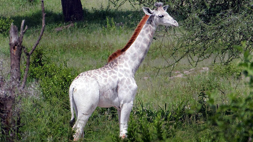 Rare white giraffe spotted in east African national park