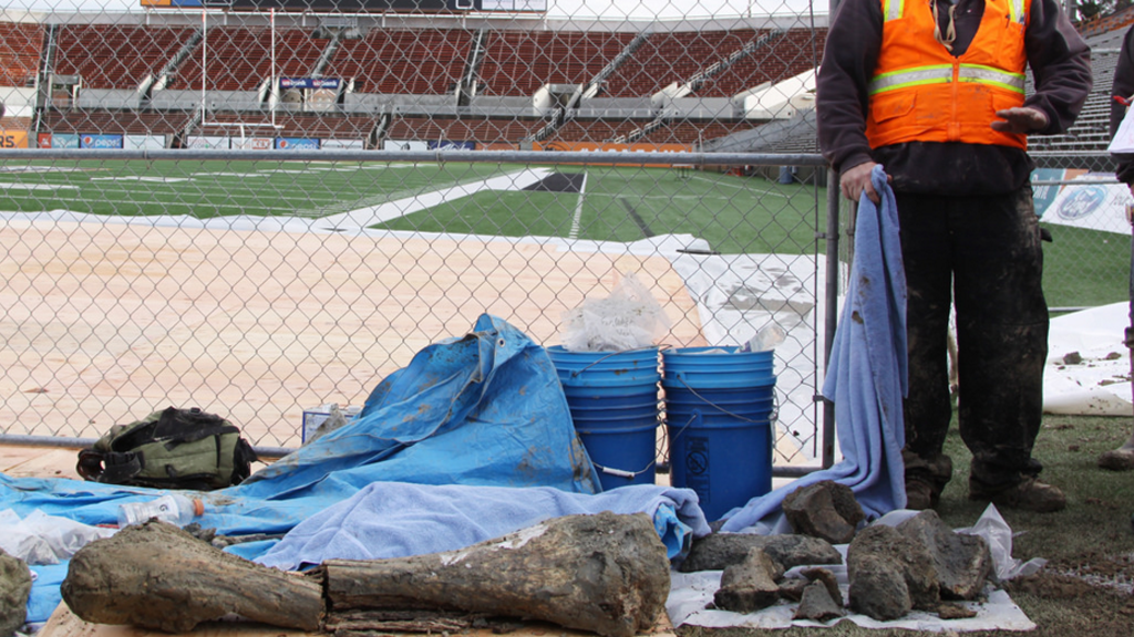 Woolly mammoth bones found during construction work at US university football stadium