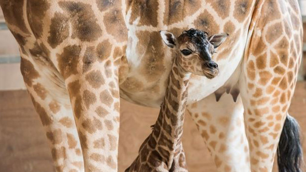The newest member of the Mogo zoo, fifth baby born to mum Shani. (Mogo Zoo)