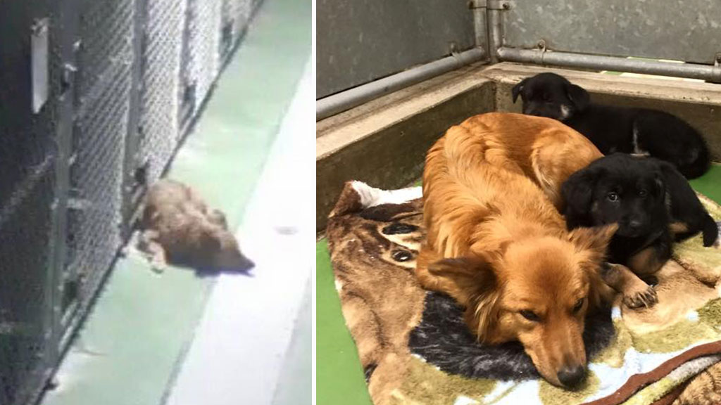Dog sneaks out of kennel to cuddle up to crying foster puppies