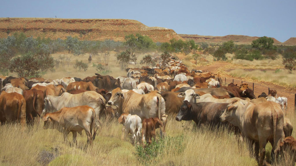 Cattle on the Yougawalla Station in the Kimberly region. (Yougawalla & Bulka Stations/ Facebook)