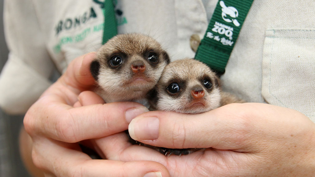 The pups are almost one month old. (Paul Fahy/ Taronga Zoo)