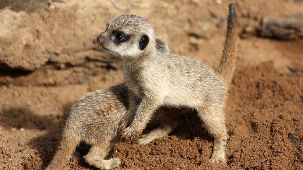 The two pups playing the African themed meerkat exhibit. (Paul Fahy/ Taronga Zoo)