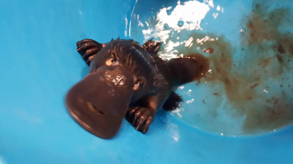 Percy the platypus was healthy and returned to the wild. (Facebook)