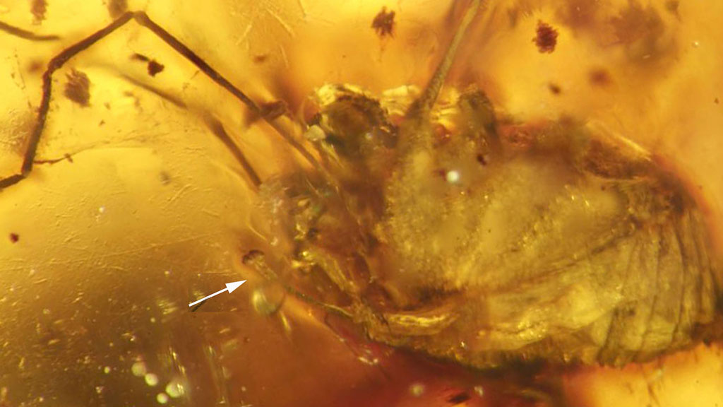 Harvestman fossils preserved in amber. (Jason Dunlop/ The Science Of Nature Journal)