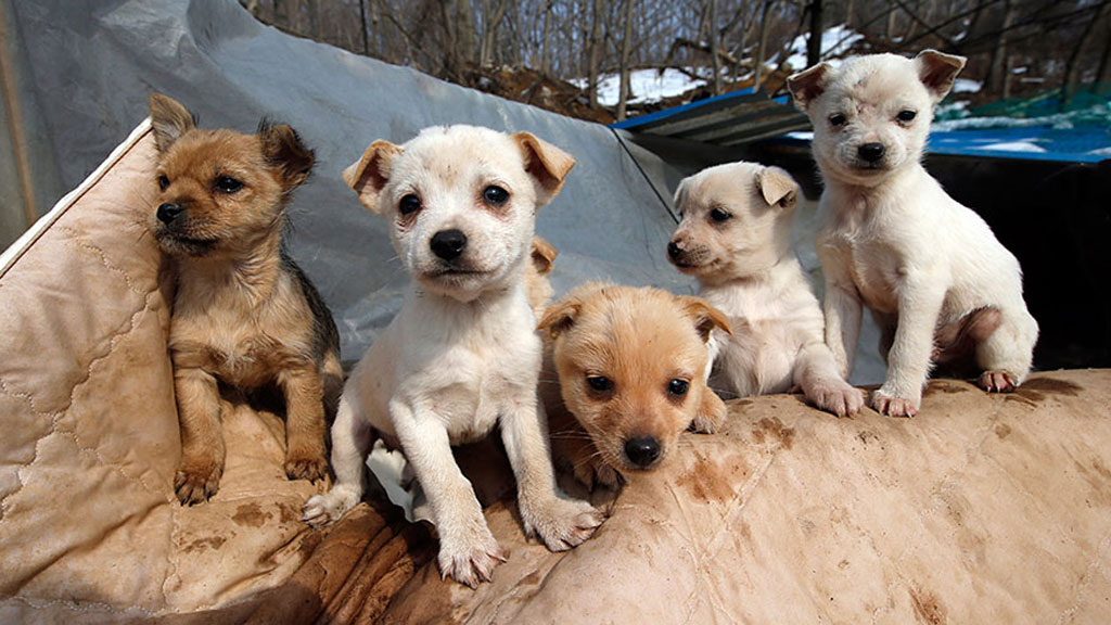 Dogs are considered a traditional delicacy in South Korea.  (AP/Lee jin-man)
