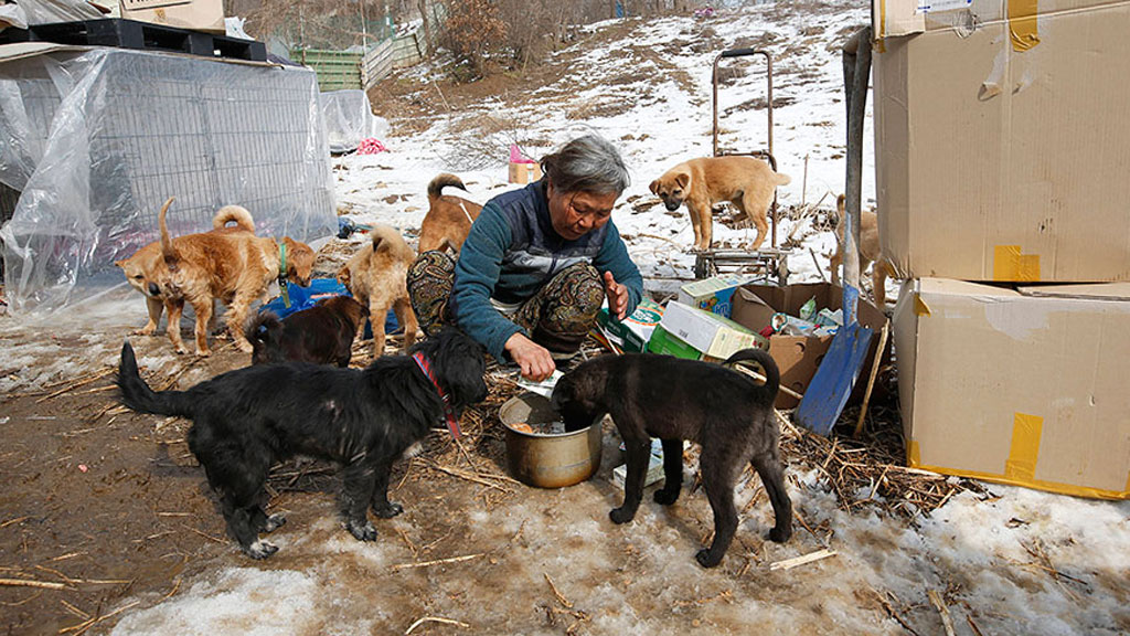 Ms Sook feeds her dogs at a shelter in Asan, South Korea. (AP/Lee Jin-man)