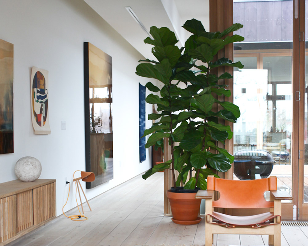How to care for your fiddle leaf fig - 9homes
