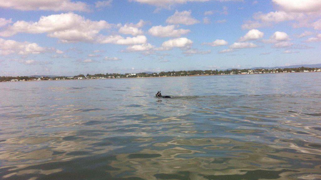 A horse in Brisbane had to be rescued today after it swam out into the ocean. (Volunteer Marine Rescue Brisbane)