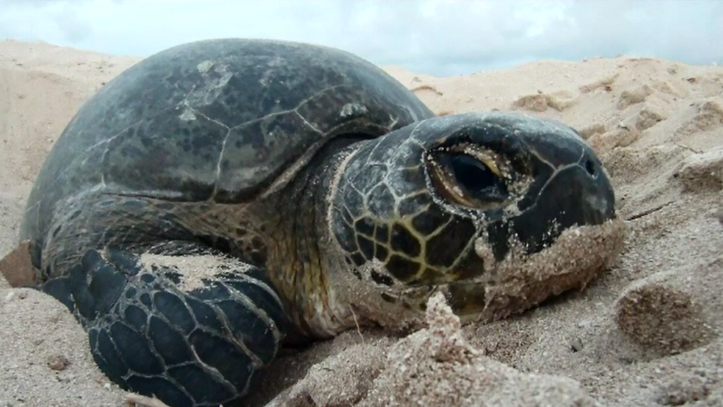 Green sea turtles have a conservation status of  'vulnerable'. (9NEWS)