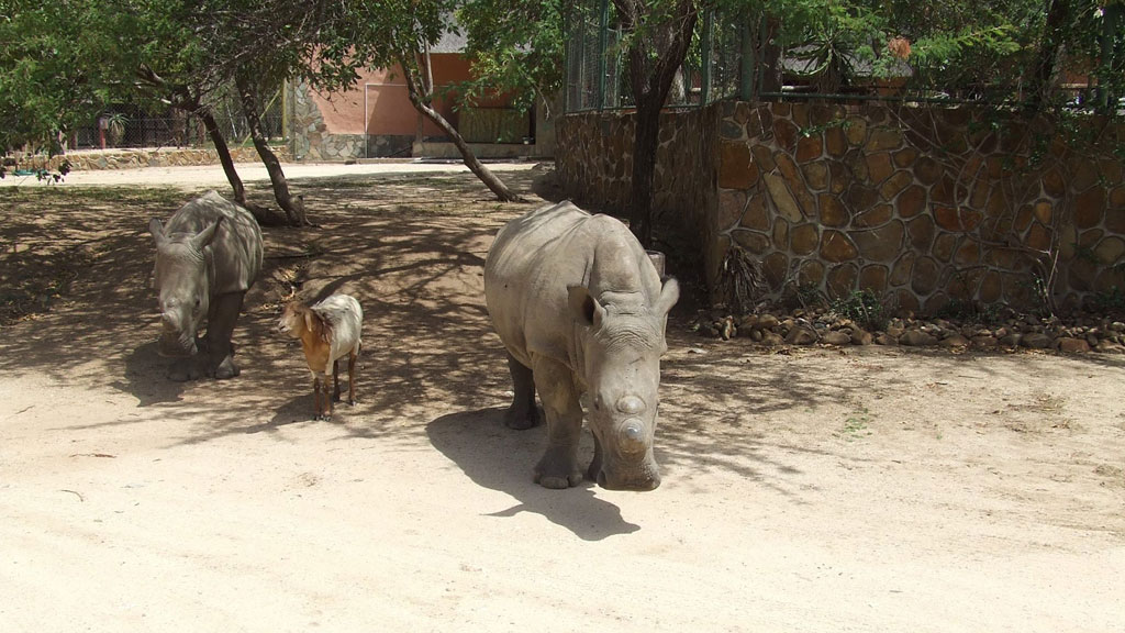 Lammie the sheep has played surrogate mother before to two orphaned Rhinos. (Hoedspruit Endangered Species Centre/ Facebook)