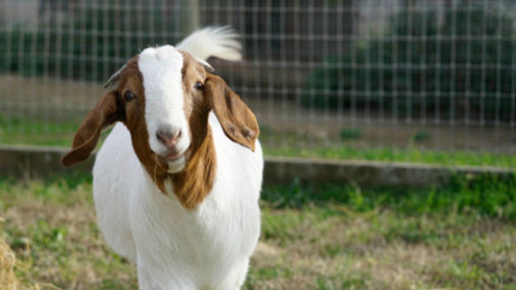 Marcia was in need of a home after she was rejected by her mother. (farmsanctuary.org)