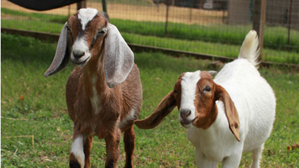 The two goats learnt how to navigate the property together. (farmsanctuary.org)