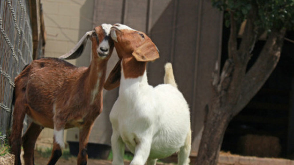 Marcia and Maurice have been inseparable since meeting last year. (farmsanctuary.org)