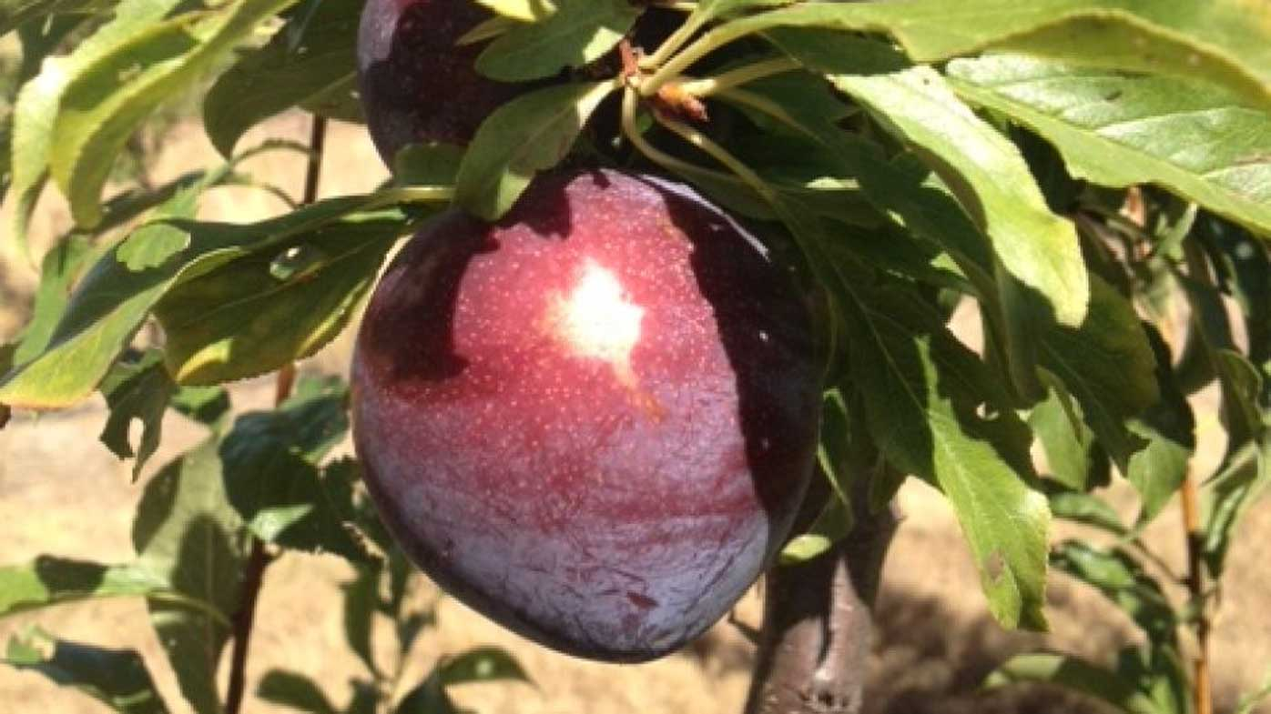 Queensland 'super plum' plum has obesity-fighting properties