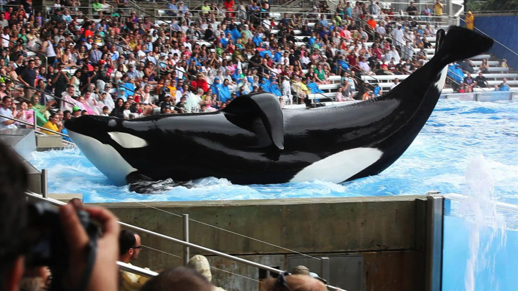 Tilikum was taken from the wild when he was only three years old and has been used to breed more orcas for SeaWorld. (AAP)