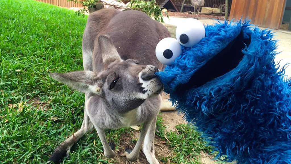 Cookie Monster bonds with Australian wildlife on Sydney zoo visit
