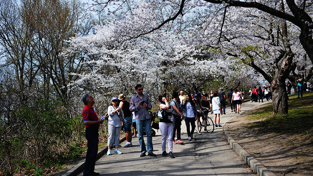 Sakura blossoms in High Park (AFP)