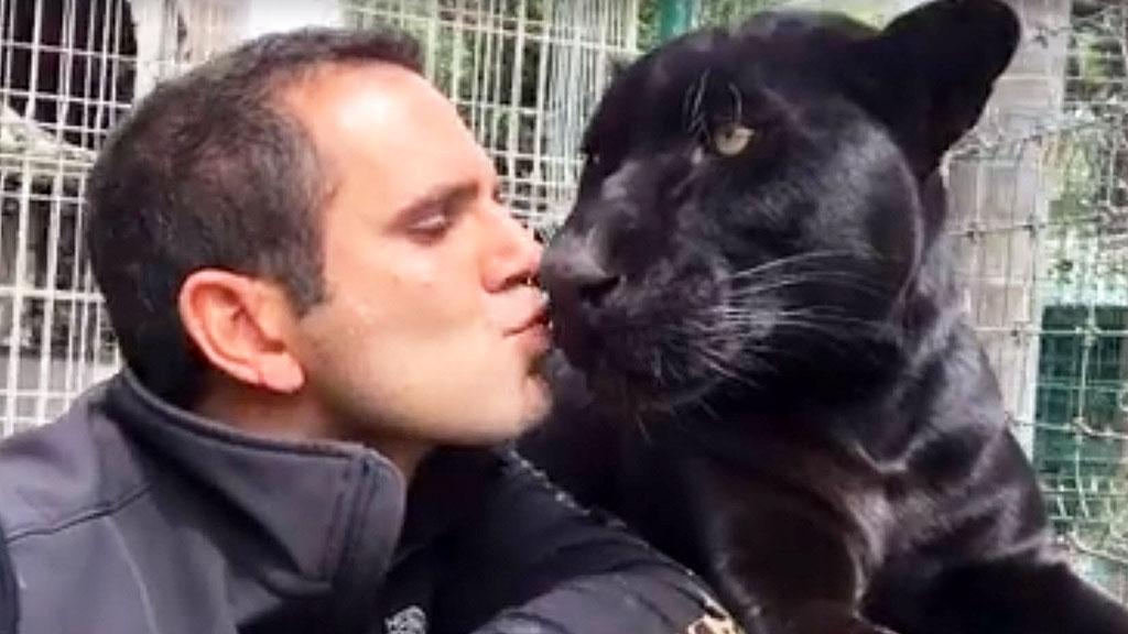Black Jaguar Big Cat