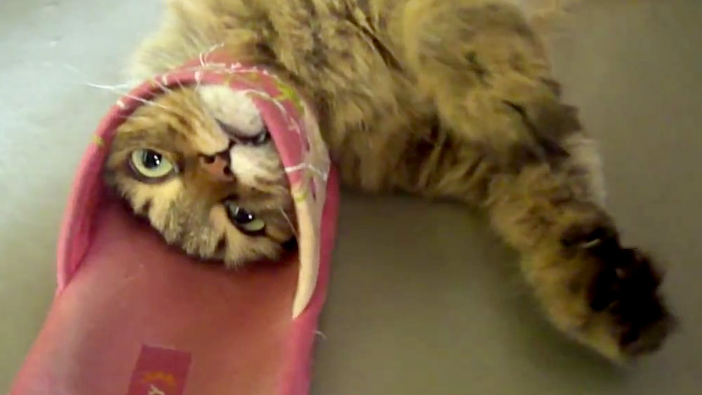 Dopey Cat Picks A Fight With A Shoe And Loses 9pickle