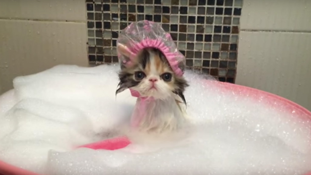 bath time kitten can barely disguise her hatred of humanity 9pickle
