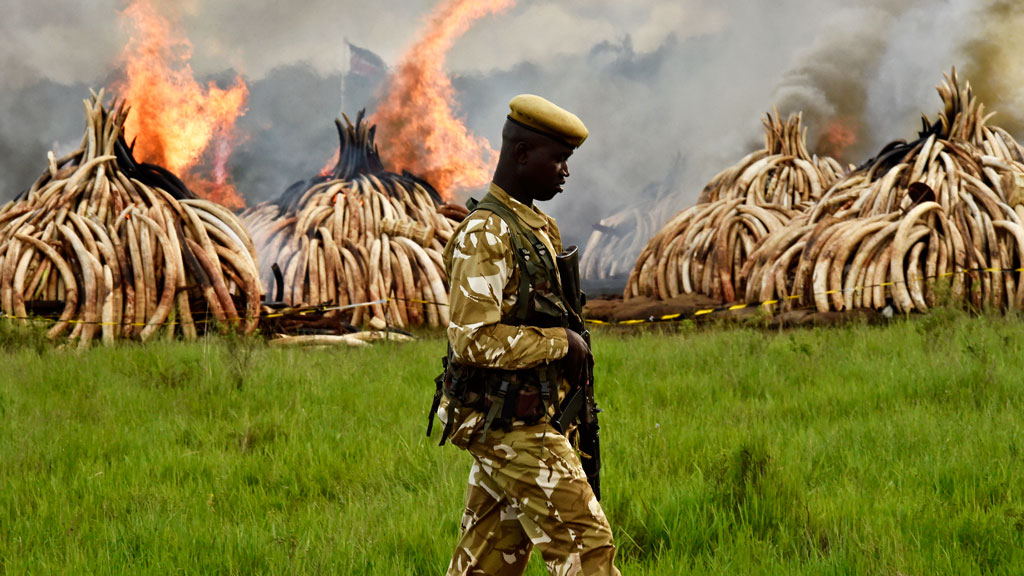 A Kenya Wildlife Services ranger stands guard around illegal stockpiles of burning elephant tusks, ivory figurines and rhinoceros horns at the Nairobi National Park on April 30, 2016. (AFP)