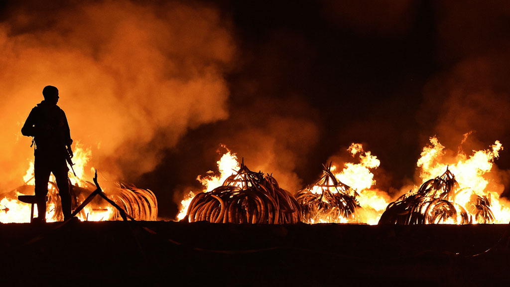 A Kenya Wildlife Services ranger stands guard in front illegal stockpiles of burning elephant tusks at the Nairobi National Park on April 30, 2016.  (AFP)