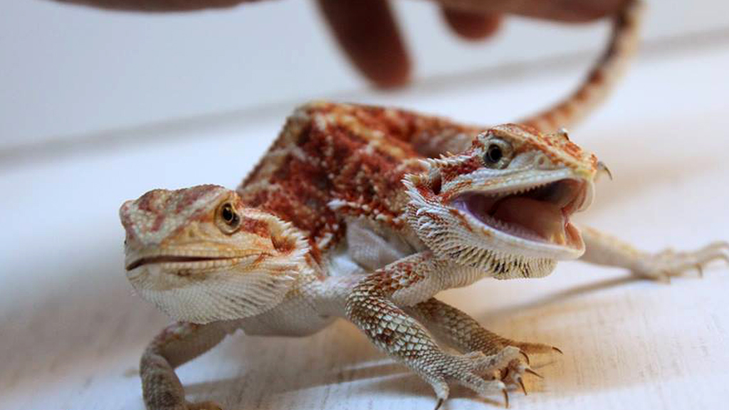 Cute Bearded Dragon | www.pixshark.com - Images Galleries ...