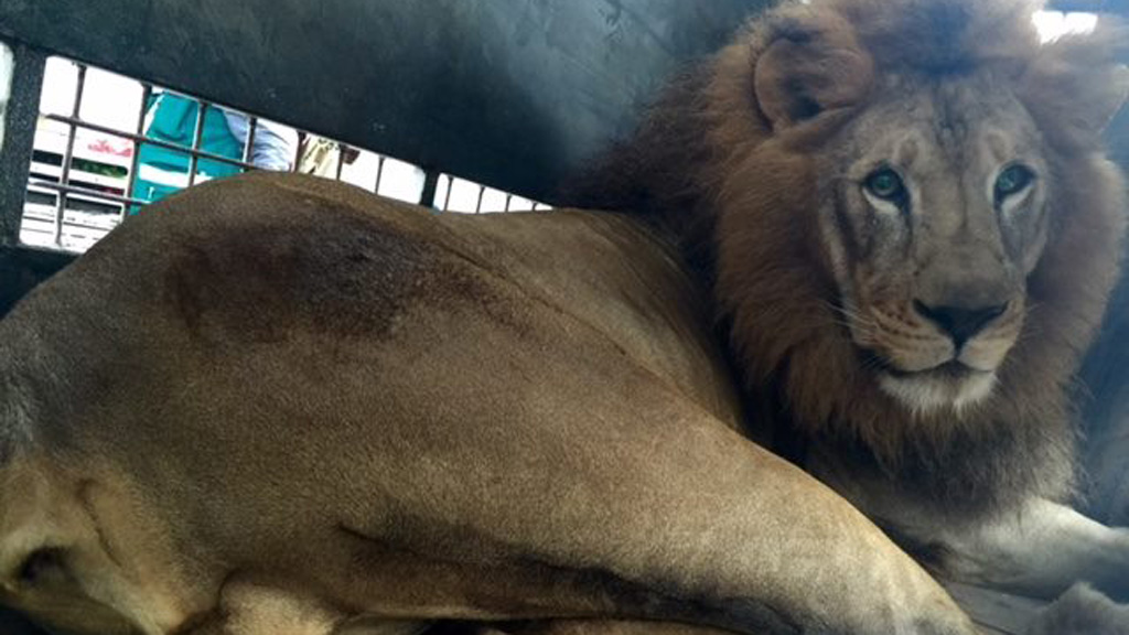 The lions were being kept illegally by circuses. (Animal Defenders International)