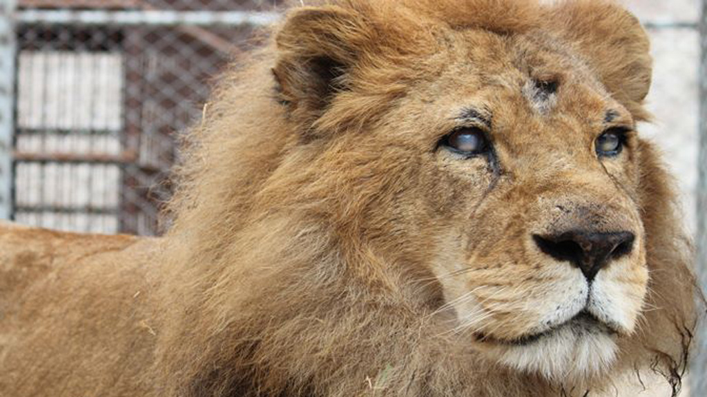 Many on the lions were missing teeth, claws, some were blind and others were missing eyes. (Animal Defenders International)