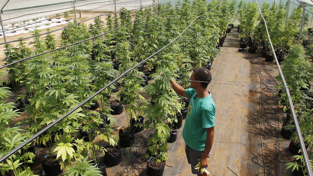 Medicinal marijuana being grown in Chile. (AFP file image)